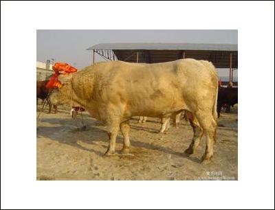小尾寒羊鲁西黄牛加盟 4