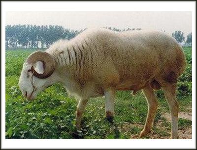 小尾寒羊鲁西黄牛加盟 6